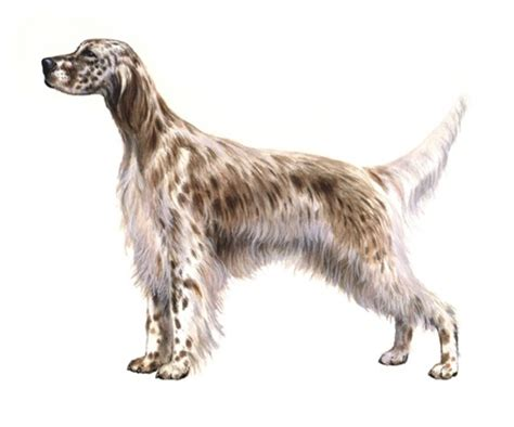english setter dog food english setter pedigree 174