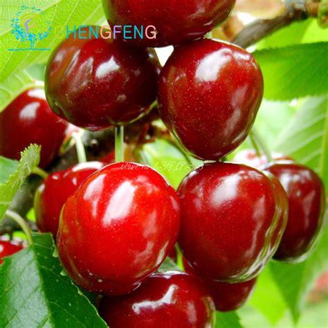 cherry tree no fruit 10pcs cherry seeds japanese fruit seeds mini bonsai draft tree no gmo big and sweet easy