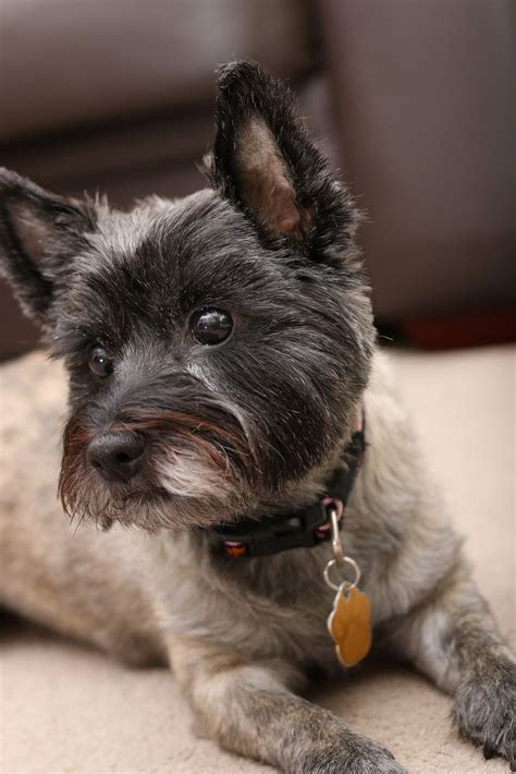 cairn terrier show cut 262 best images about i love my dog on pinterest duke