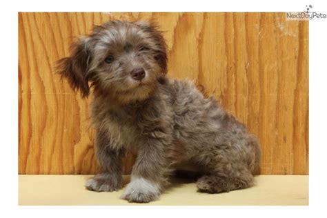 brown havanese brown havanese puppies www imgkid the image kid has it