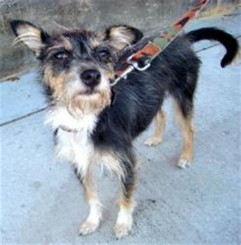 yorkie italian greyhound mix terrier yorkie italian greyhound mix http www petfinder petdetail