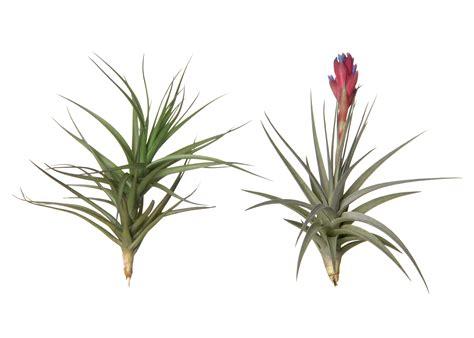 tillandsia aeranthos corsa air plants webshop