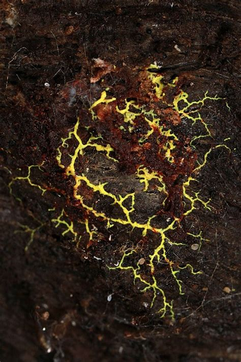 patterns throughout nature fractal branching patterns in nature slime mold