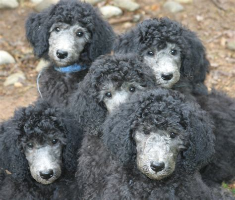 silver poodle puppy standard poodles of clifton virginia