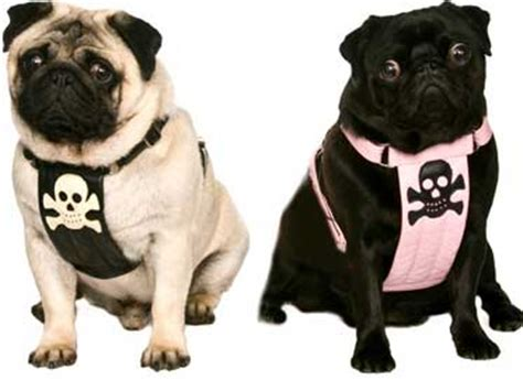 pug collar or harness pugs