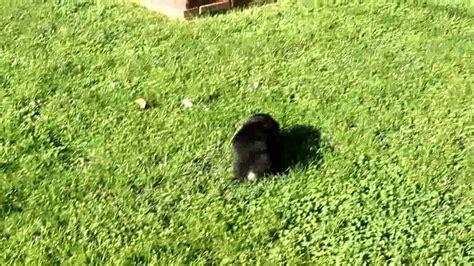 corgi poodle mix puppies for sale corgi poodle mix puppy for sale aaron stoltzfus