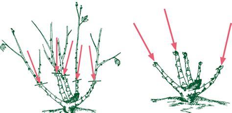 Bodendeckerrosen Schneiden by Bodendeckerrosen