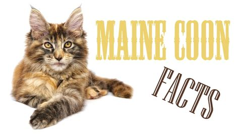 Maine Coon Cat Facts, Figures, and Vital Information For