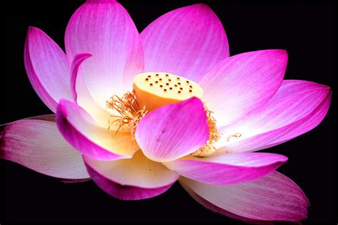 what is lotus blossom lotus blossom photograph by rm vera