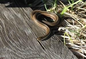 garter garden snakes can be deadly dodge