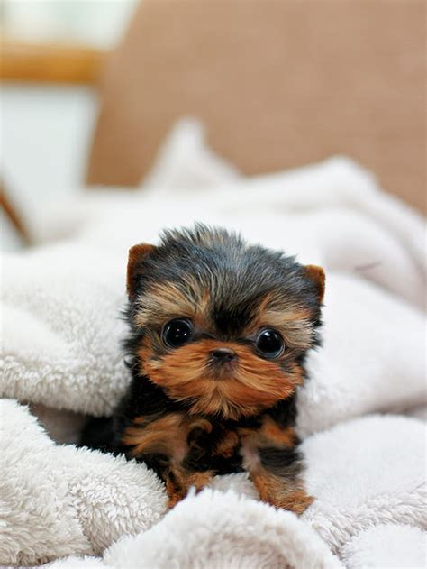 should i get a yorkie quiz 10 reasons why you should never own yorkies