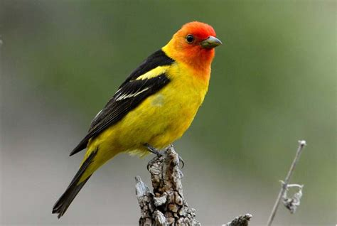 western tanager piranga ludoviciana wildlife journal