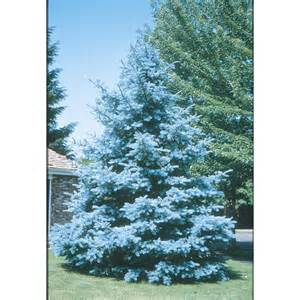 Kitchen Track Lighting Lowes by Shop 10 25 Gallon Bacheri Blue Spruce Feature Tree