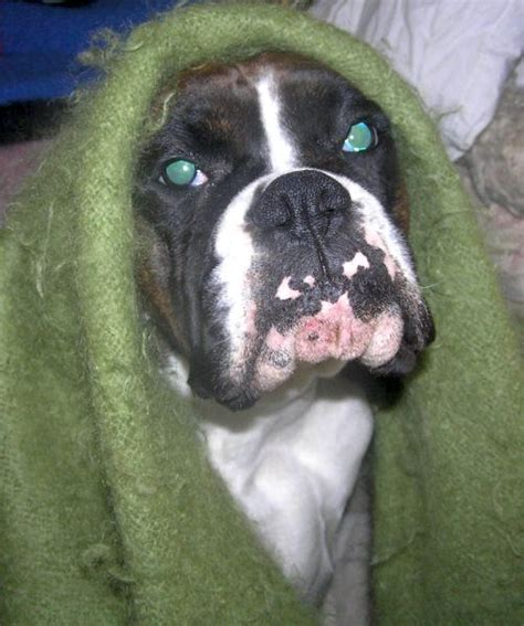 teacup boxer puppies for sale image gallery teacup boxer