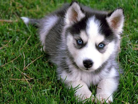 adorable husky puppies husky puppy wallpaper