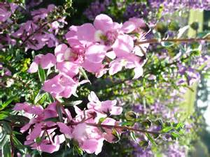 serena angelonia is newest louisiana super plant lsu