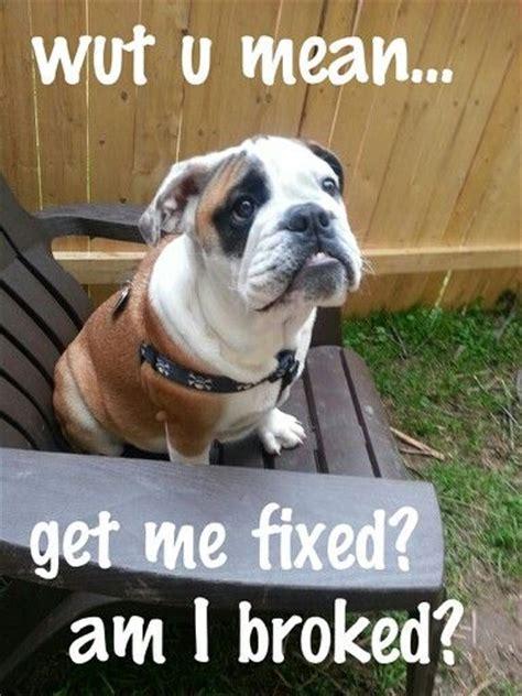 Bulldog Meme - 21 best funny bulldog meme images on pinterest