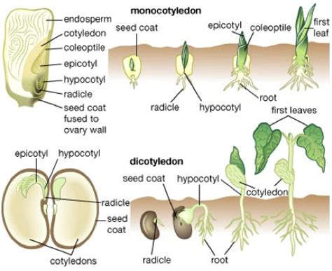 bean plant diagram bean germination diagram bean root diagram elsavadorla