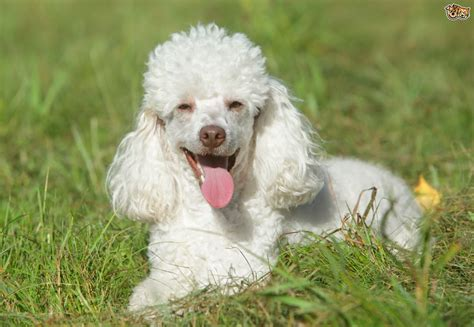 poodle breed poodle breed information buying advice photos and facts pets4homes