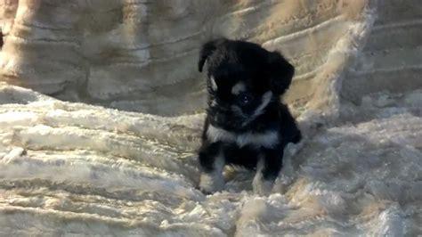 black yorkie mix black and boy tiny chihuahua yorkie mix puppy
