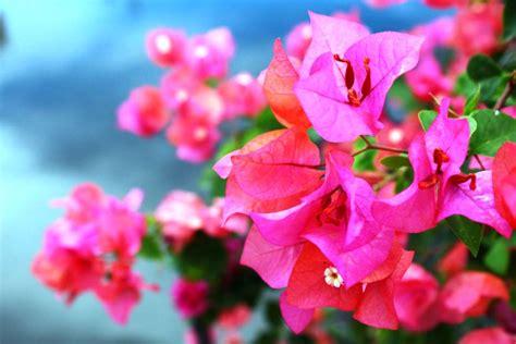 wallpaper bunga bougenvile gambar bunga kertas yang memikat pernik dunia