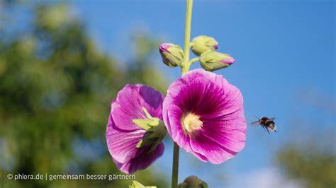 wann pflanzt krokusse bienenweide die besten sp 228 tbl 252 f 252 r bienen und hummeln