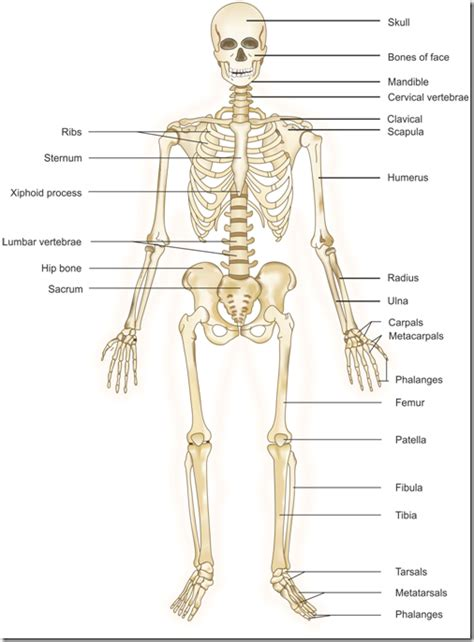 skeletal diagram systems flashcards brook162 preap gt biology with