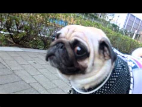 pug coughing my poor hacking pug doovi