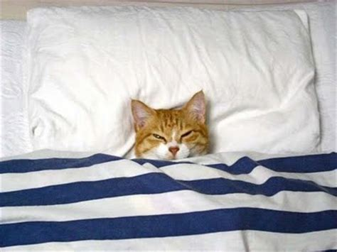 kitten in bed 35 of the funniest cats giftsdirect com