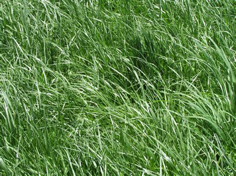 tall fescue high yielding forage grass or toxic and invasive weed university of vermont