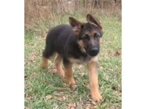 german shepherd puppies for sale in wi german shepherd puppies in wisconsin