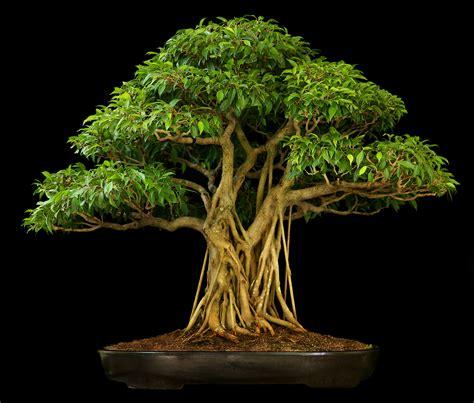 Japanese Zen Garden by 1000 Ideas About Bonsai Ficus On Pinterest Ficus