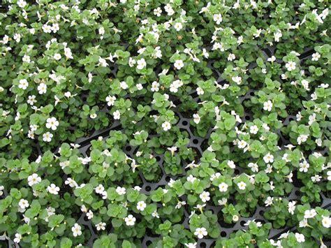 online plant guide bacopa sutera talifun pearl
