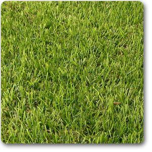 buy bermuda grass  grade  gm seeds   nursery