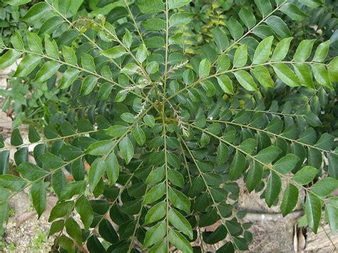 Pokok Pokok Ppn Edisi 2015 siri herba malaysia pokok kari myagri mymyagri my