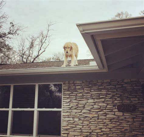 dog on the roof huckleberry the dog likes hanging out on the roof