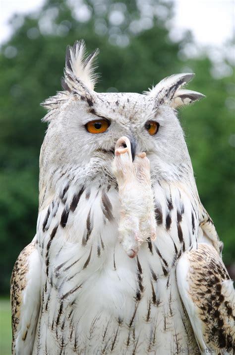 Jump Owl White file white horned owl portrait jpg wikimedia commons