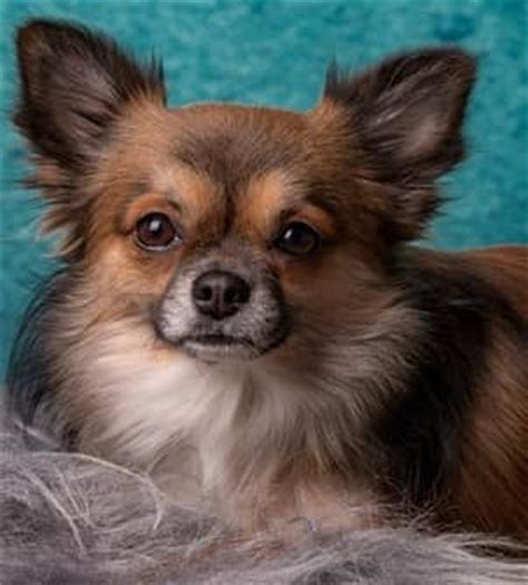 long hair chihuahua hair growth what to expect hairy chihuahua pictures