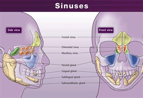 sinus diagram paranasal sinuses everything about paranasal sinuses