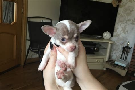 puppies for sale ta chihuahua sale singapore chihuahua puppies buy buy chihuahua breeders chihuahua