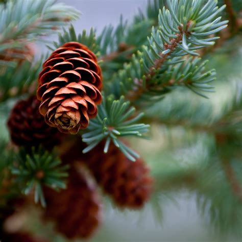 with pine cones pine cones fragrance candlescience
