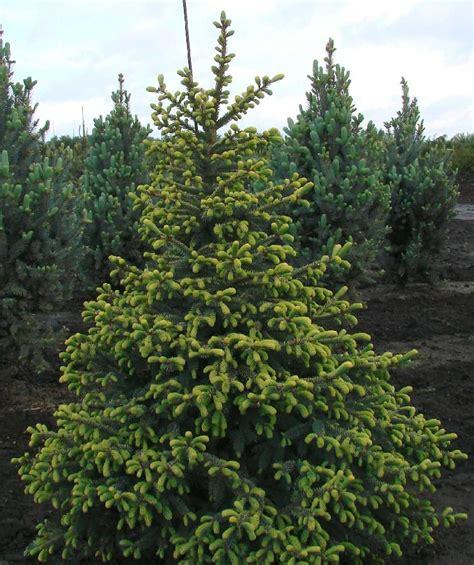 Variegated Foliage Plants - picea mariana aureo variegata the site gardener