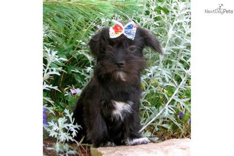 yorkie poo potty meet trixie a yorkiepoo yorkie poo puppy for sale for 300 trixie loving
