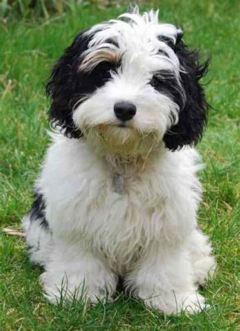 cavachon dogs black and white cavachon puppies www pixshark