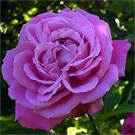 Come Coltivare Le Roselline In Vaso by Roselline Coltivare Le Roselline