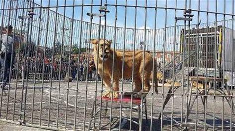 mi sento in gabbia leoni oggi ultime notizie