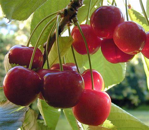 cherry tree planting how to grow cherry trees in pots dengarden