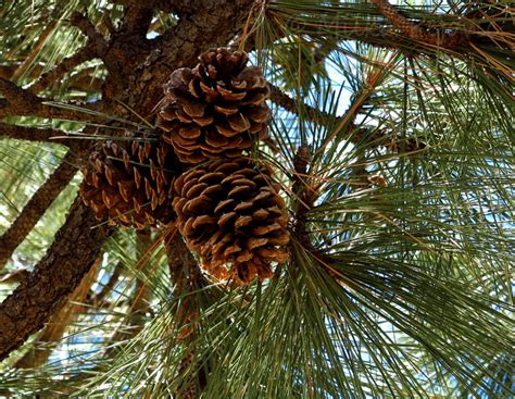 cone tree my 2013 calendar pick for december pine cones up the pine