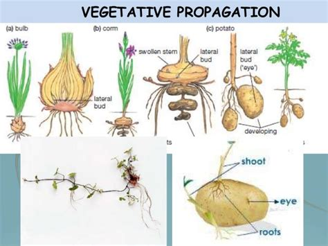 vegetative propagation by roots biology form 5 chapter 4 4 1 asexual sexual reproduction