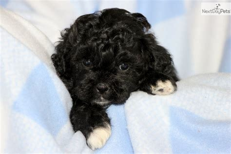 shih poo puppies for sale in illinois shih poo shihpoo puppies for sale puppy breeders design bild
